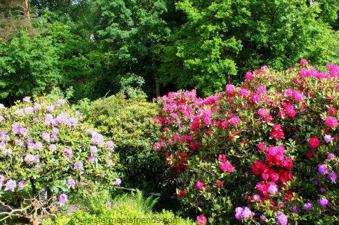 Rhododendren II